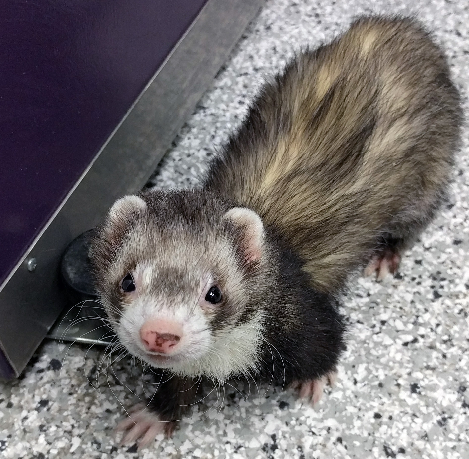 beauregard ferret at shelter0 after fostering