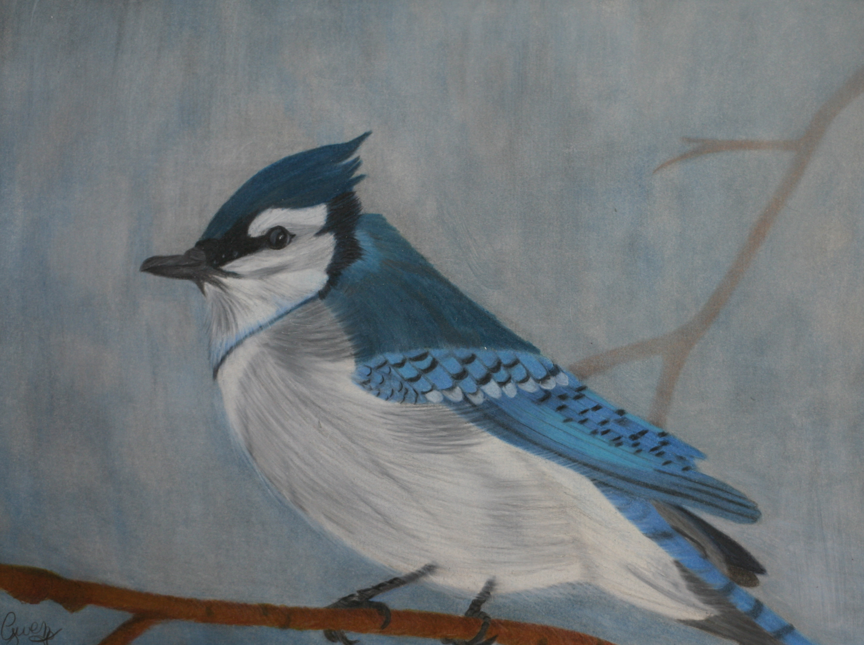 Blue jay on limb in colored pencil with gray background