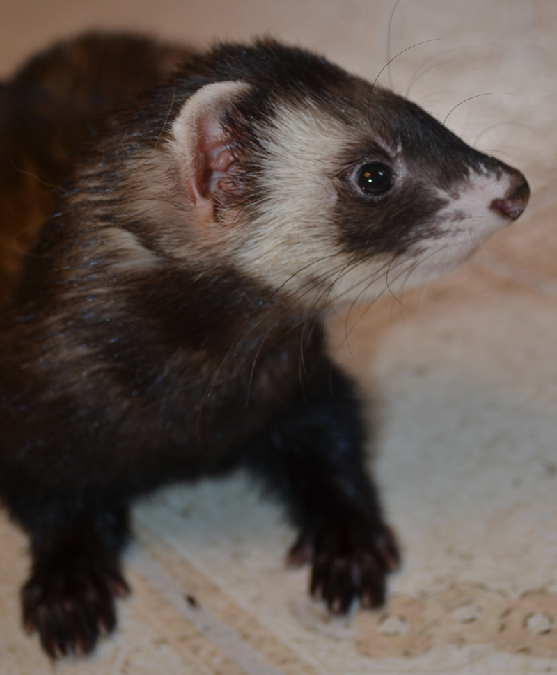 rexxar ferret shrunk taken july 2016