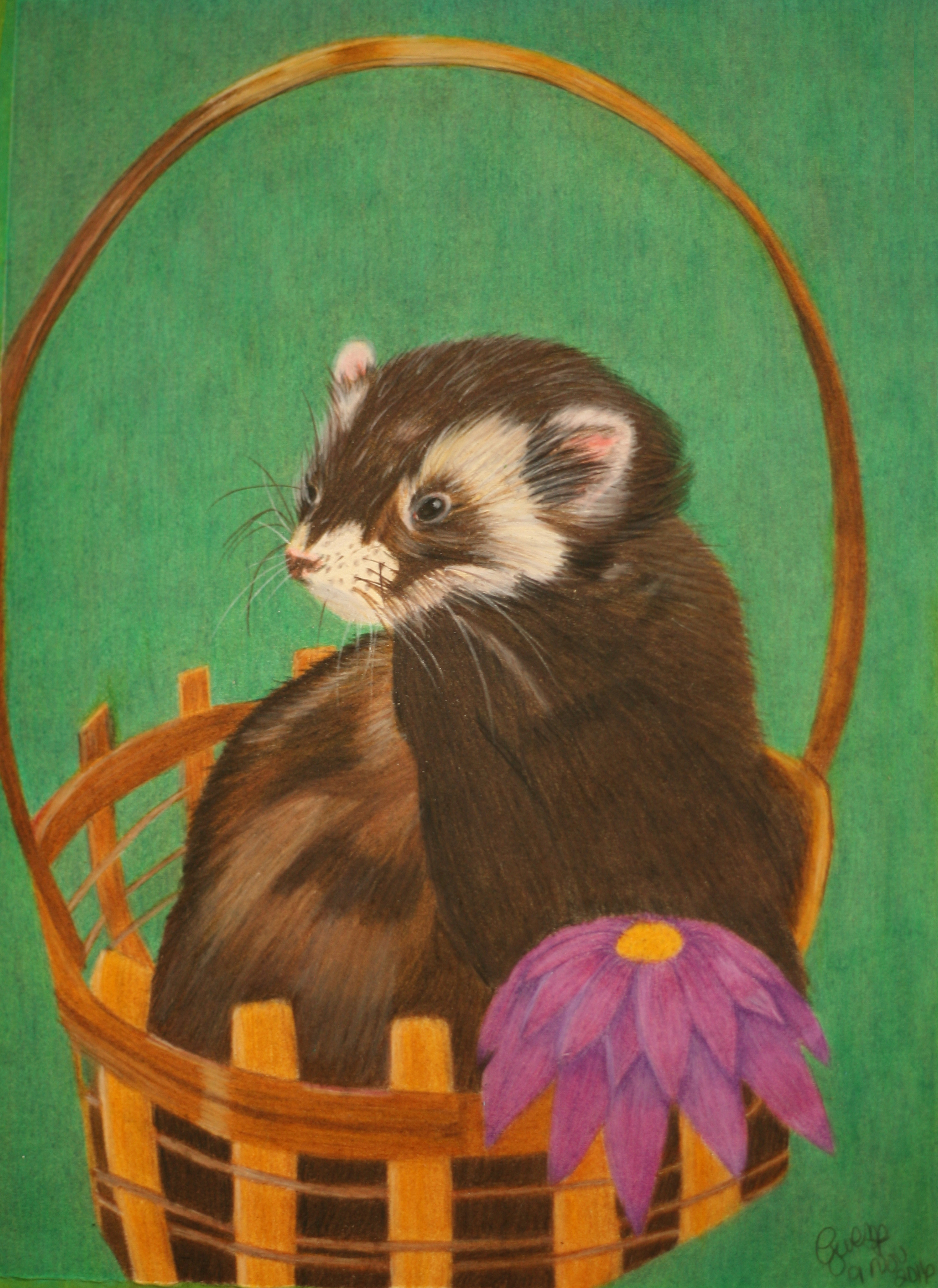Rexxar, sable ferret in a light colored basket, photograph